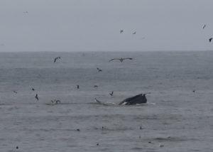 1 whale feeding best IMG_0263