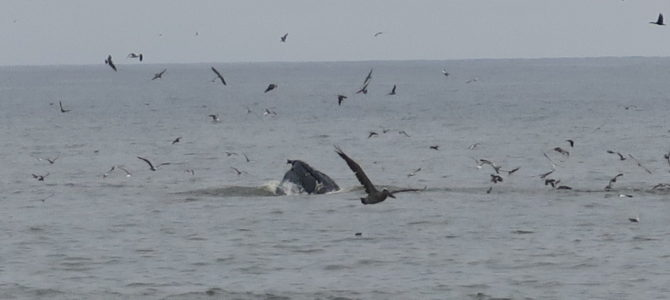 World Class Whale Watching from Half Moon Bay Shore