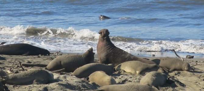 Ano Nuevo Elephant Seal Tour: Hiking with Kids