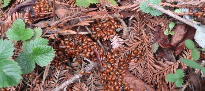 Ladybugs & Redwoods in Redwood Regional Park – World Class Family Hike