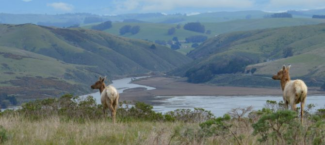Elk, Coyotes, & Owls at Tomales Point in Point Reyes National Seashore